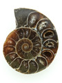 Ammonite Pendant 35mm (AM446)