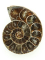 Ammonite Pendant 36mm (AM454)