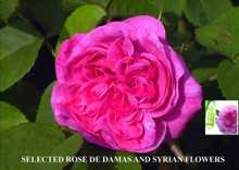 Pure Damascus Rose 12cc