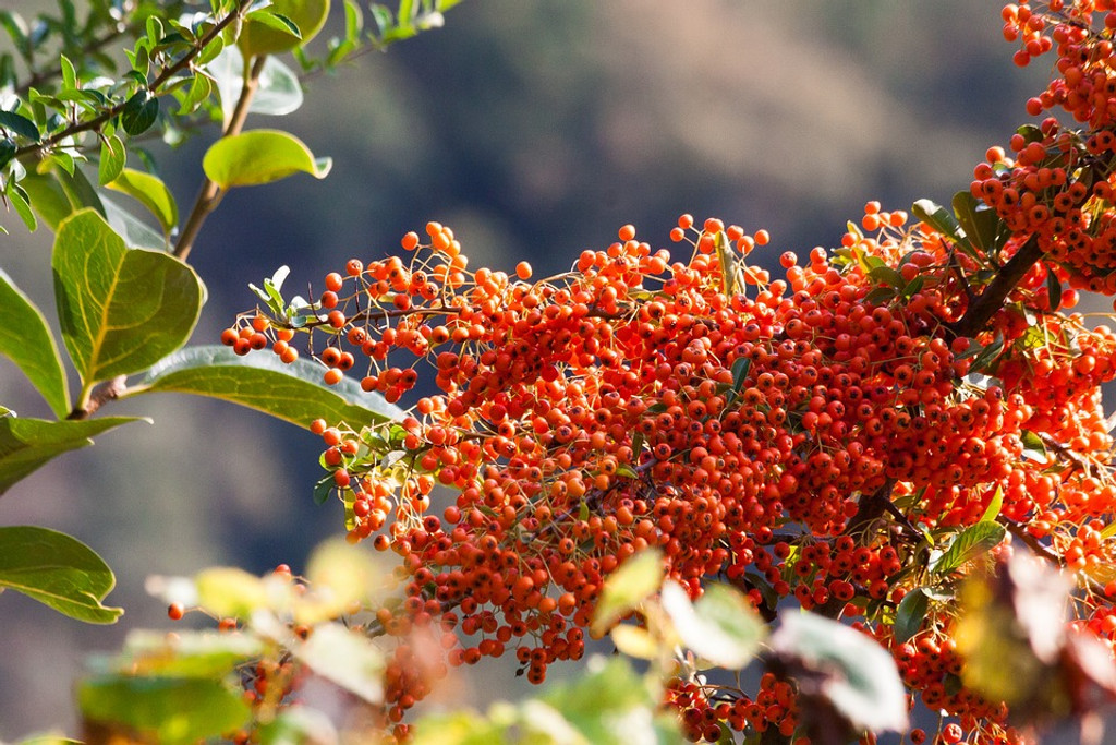 Superfood Spotlight: Organic Dried Sea Buckthorn Berries