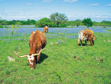 Bluebonnet Longhorns II by Arthur Rawlings