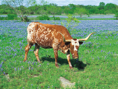 Texas Longhorn grazing in a field of bluebonnets by Arthur Rawlings