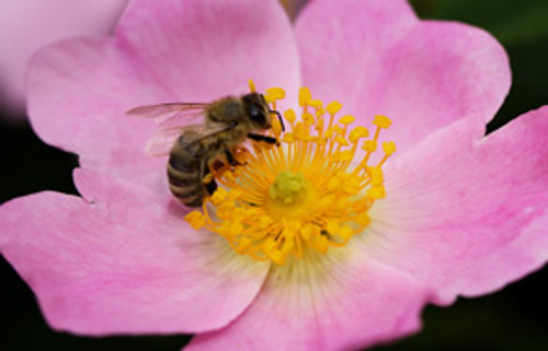 Bees and Prostate Health