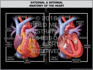 Exhibit of External & Internal Anatomy of the Heart