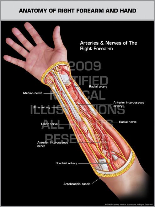 Forearm Anatomy Romeondinez
