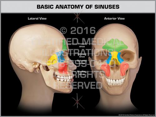 Exhibit of Basic Anatomy of Sinuses