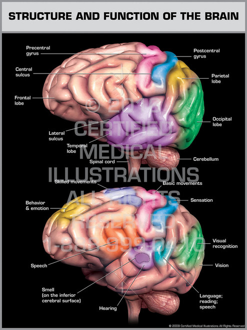 Exhibit of Structure & Function of the Brain - Print Quality Instant Download