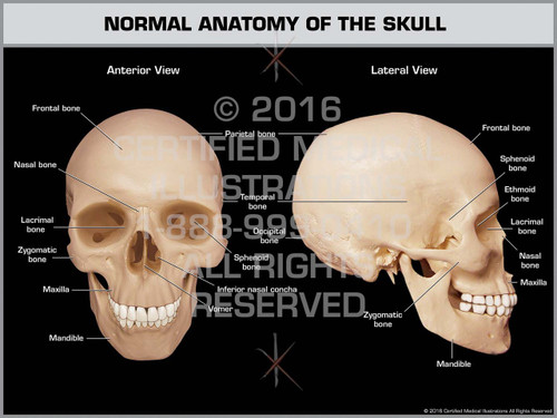 Exhibit of Normal Anatomy of the Skull - Print Quality Instant Download