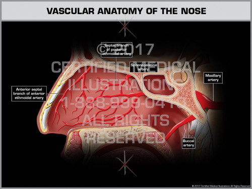Exhibit of Vascular Anatomy of the Nose - Print Quality Instant Download