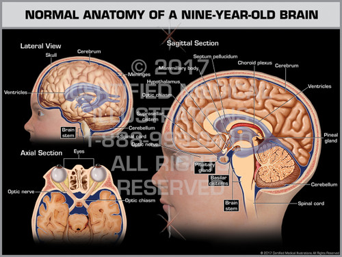 Exhibit of Normal Anatomy of a Nine-Year-Old Brain