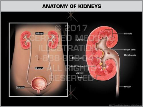 Exhibit of Anatomy of the Kidneys