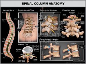 Spinal Column Anatomy