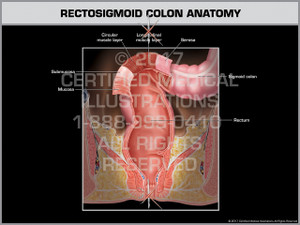 Rectosigmoid Colon Anatomy- Print Quality Instant Download