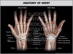 Exhibit of Anatomy of Wrist.