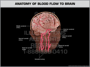 Exhibit of Anatomy of Blood Flow to Brain.