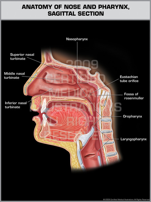 Exhibit of Anatomy of Nose and Pharynx, Sagittal Section.