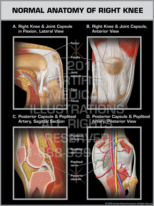 Normal Anatomy of Right Knee