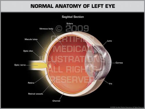 Exhibit of Normal Anatomy of Left Eye.