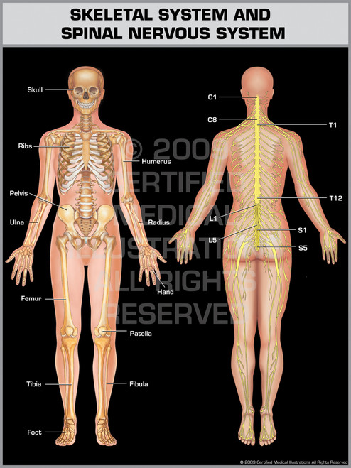 Exhibit of Skeletal System & Spinal Nervous System