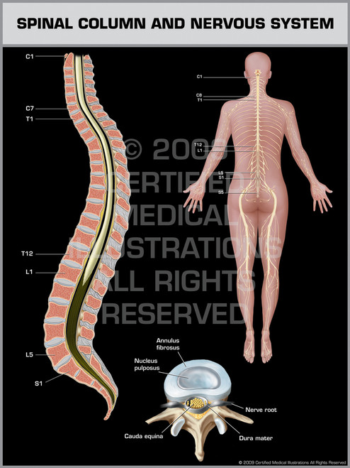 Spinal Column & Nervous System Female