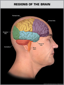 Exhibit of Regions of the Brain - Print Quality Instant Download