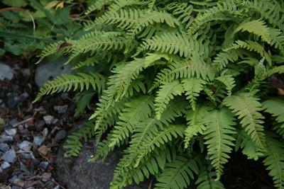 Fern Grab Bag - 25 Ferns