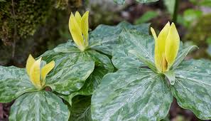 Yellow trillium are simple yet very unique.
