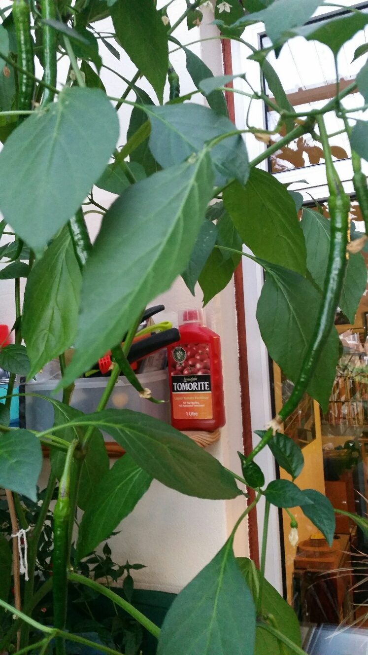 how to grow kashmiri chillies