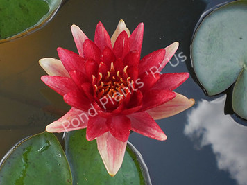 Steven Strawn- Red Hardy Water Lily