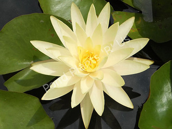 Texas Dawn-Yellow Hardy Water Lily