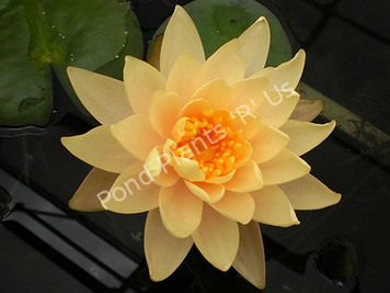 Clyde Ikins- Peach/Orange Hardy Water Lily