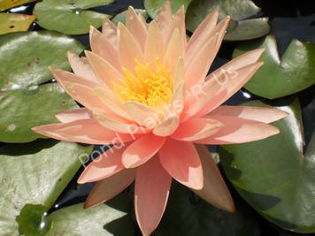 Pink Grapefruit- Peach/Orange Hardy Water Lily