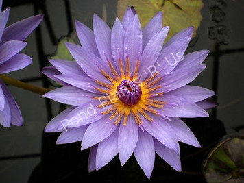 William McLane- Purple Tropical Water Lily