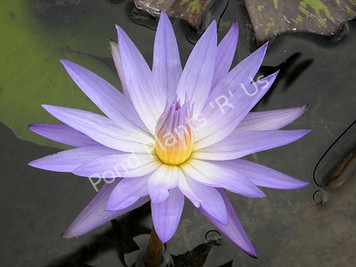 Star of Siam- Blue Tropical Water Lily