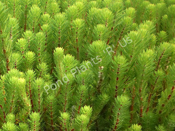 Red Stemmed Parrot's Feather- Floating Plant