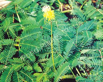 Sensitive Plant- Floating Plant