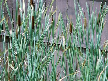 Variegated Cattail - Typha Latifolia Variegata