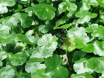 Pennywort- Hardy Bog Plant