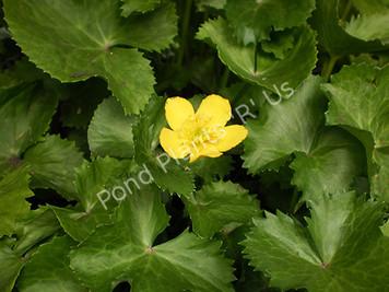 Marsh Marigold- Hardy Bog Plant