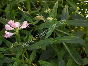 Obedient Plant- Hardy Bog Plant