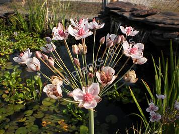 Flowering Rush- Hardy Bog Plant