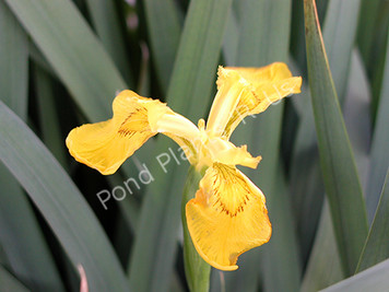 Dixie Deb- Yellow Louisiana Iris