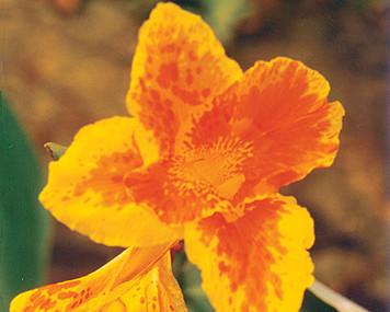 Orange Canna (Orange King Humbert)- Tropical Bog Plant