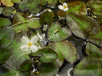 White Snowflake- Tropical Bog Plant