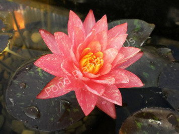 Wanvisa- Peach/Orange Hardy Water Lily