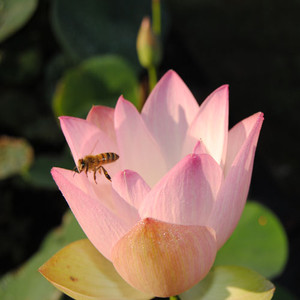 Beautiful Dancer- Pink Hardy Water Lotus