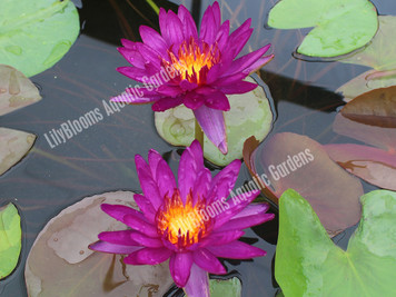 Purple Fantasy - Hardy Water Lily