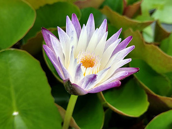 Purple Joy -  Tropical Water Lily