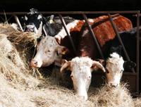 Hillside Cow Rescue Appeal 2017