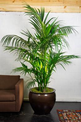 6 best indoor palm